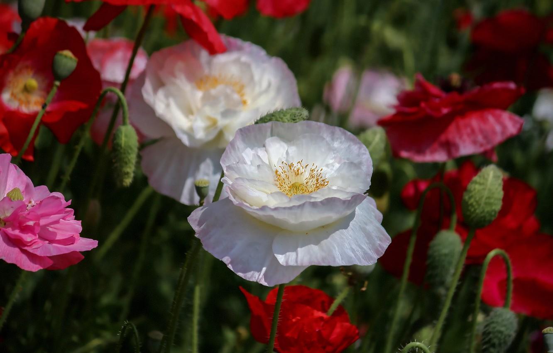Photo wallpaper summer, flowers, Maki, blur, red, pink, white, buds, bokeh, Terry