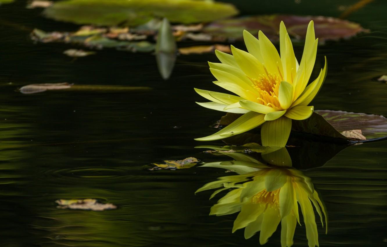 Photo wallpaper water, reflection, yellow, Nymphaeum