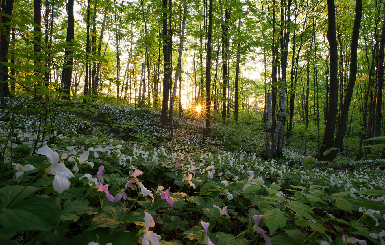 Photo wallpaper forest, the sun, trees, flowers