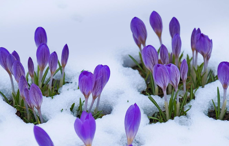 Wallpaper Snow Flowers Spring Crocuses Images For Desktop