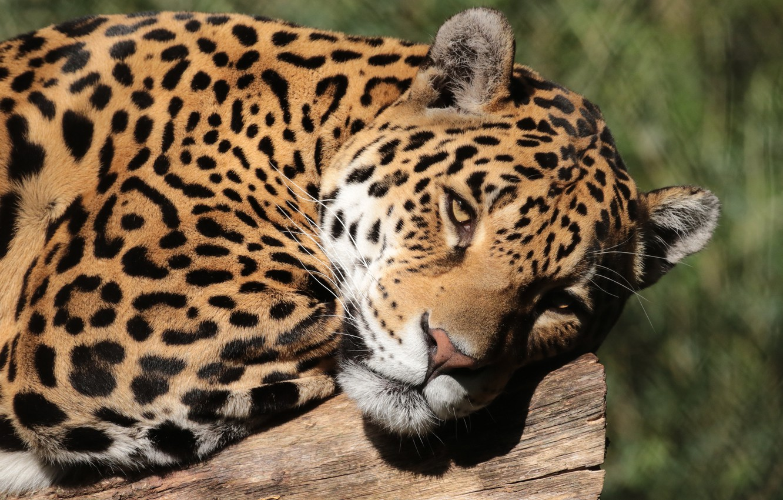 Photo wallpaper face, close-up, portrait, lies, Jaguar