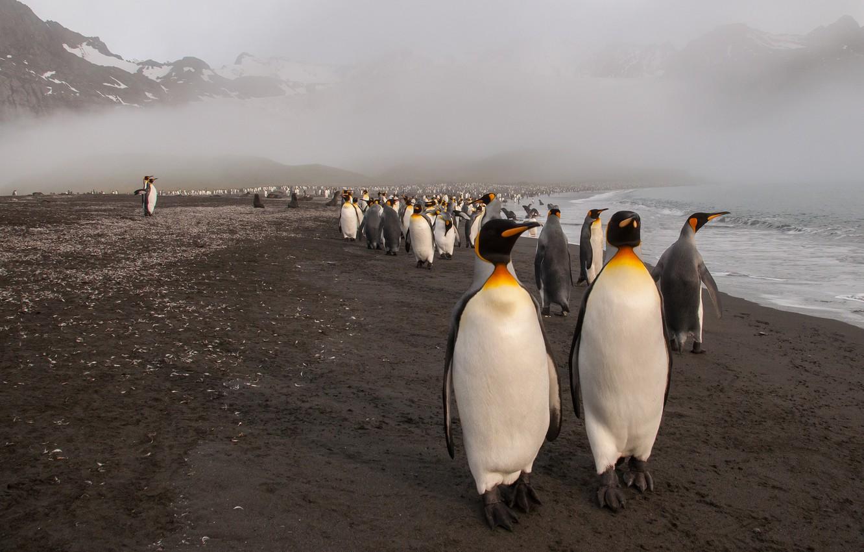 Photo wallpaper sea, beach, mountains, birds, nature, fog, together, shore, tops, pack, penguins, haze, penguin, rally, a ...
