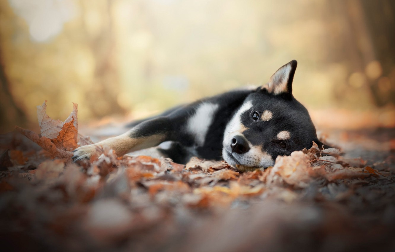 Wallpaper Autumn Leaves Dog Puppy Lies Shiba Inu Shiba Images For Desktop Section Sobaki Download
