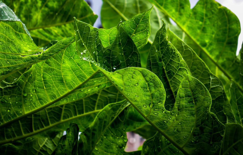 Photo wallpaper leaves, green, plant