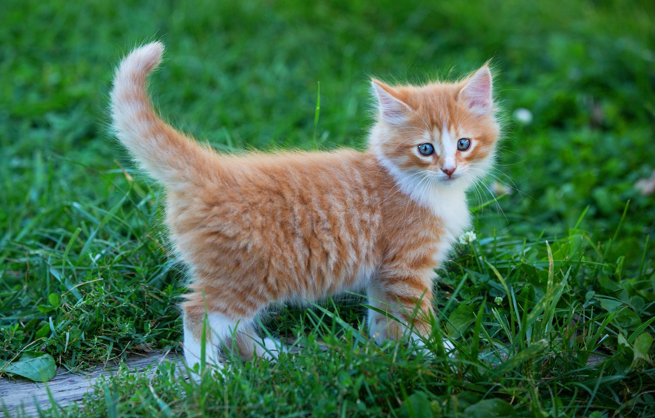 Photo wallpaper greens, cat, summer, grass, look, pose, kitty, background, baby, red, walk, kitty