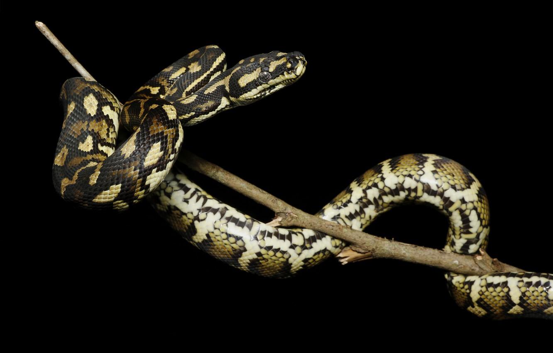 Wallpaper Snake Branch Python Black Background Reptile