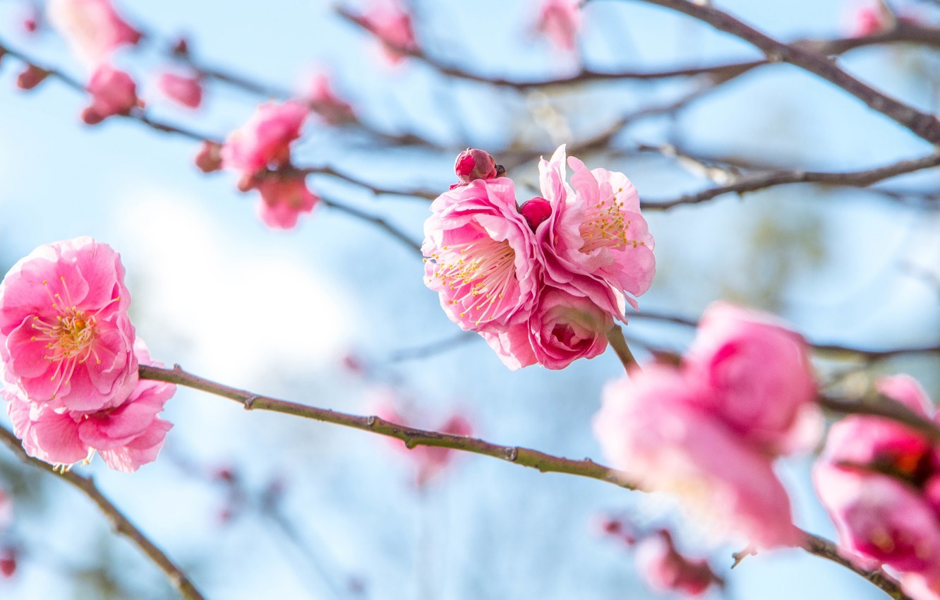 Photo wallpaper flowers, branches, spring, pink, flowering, blue background