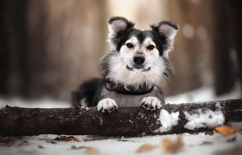 Photo wallpaper winter, leaves, snow, nature, animal, dog, log, dog, bokeh