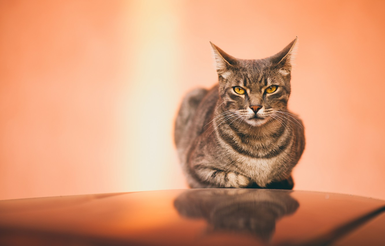 Photo wallpaper cat, cat, look, face, surface, grey, background, lies, striped, yellow eyes, mirror, pink-orange