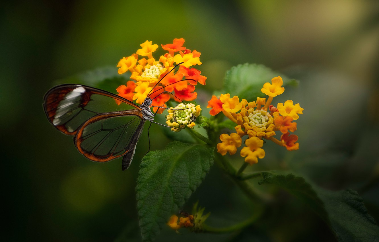 Photo wallpaper macro, flowers, butterfly, Lantana, Greta oto, Стеклянная бабочка