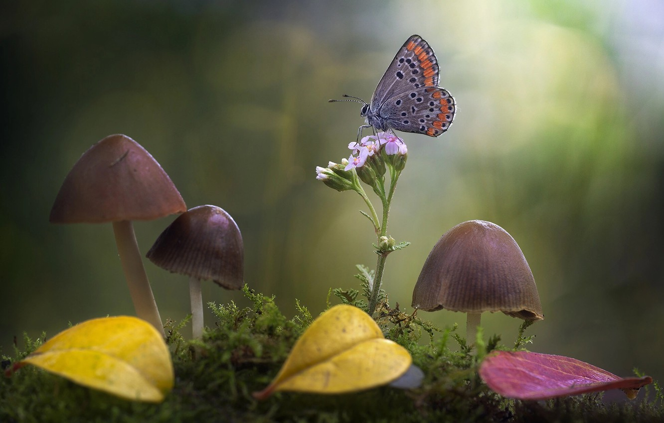 Photo wallpaper flower, leaves, macro, nature, butterfly, mushrooms, moss, bokeh, toadstool, Roberto Aldrovandi