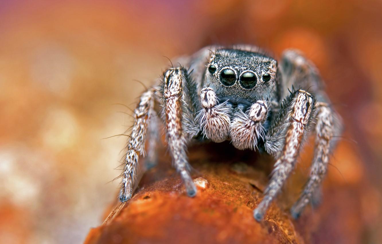 Photo wallpaper eyes, macro, orange, background, legs, spider, bokeh, blurred background, jumper, jumper, the Hoppy