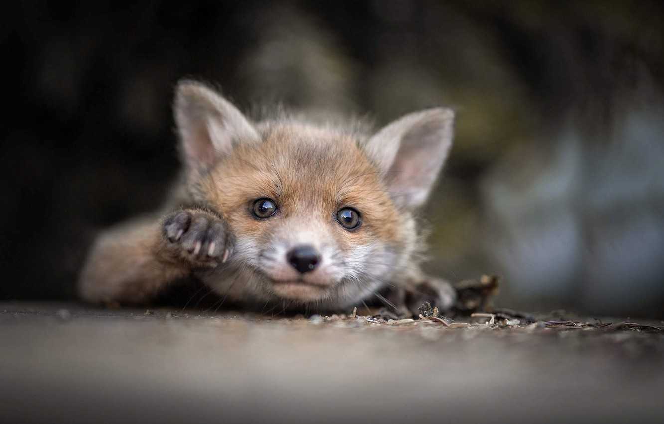 Photo wallpaper nature, animal, cub, Fox, moredock