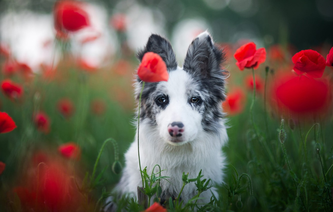 Photo wallpaper field, white, grass, look, face, flowers, nature, background, glade, Maki, portrait, dog, puppy, red, bokeh, ...