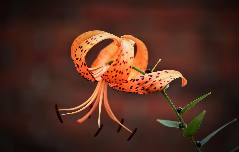 Photo wallpaper macro, background, Lily, petals, stamens, Tiger Lily