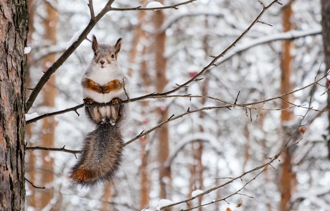 Photo wallpaper winter, forest, nature, sweetheart, branch, protein, rodent
