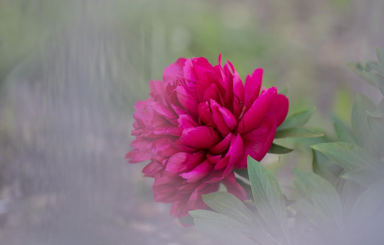 Photo wallpaper flower, blur, peony