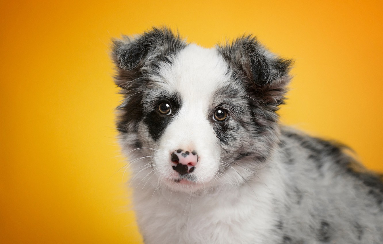 Photo wallpaper look, portrait, dog, baby, puppy, face, yellow background, the border collie