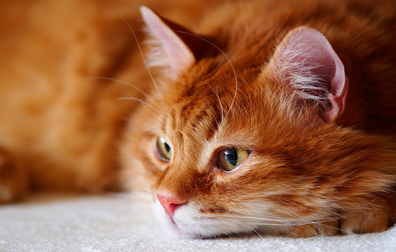 Photo wallpaper cat, cat, look, face, portrait, fluffy, red, lies, handsome, yellow eyes