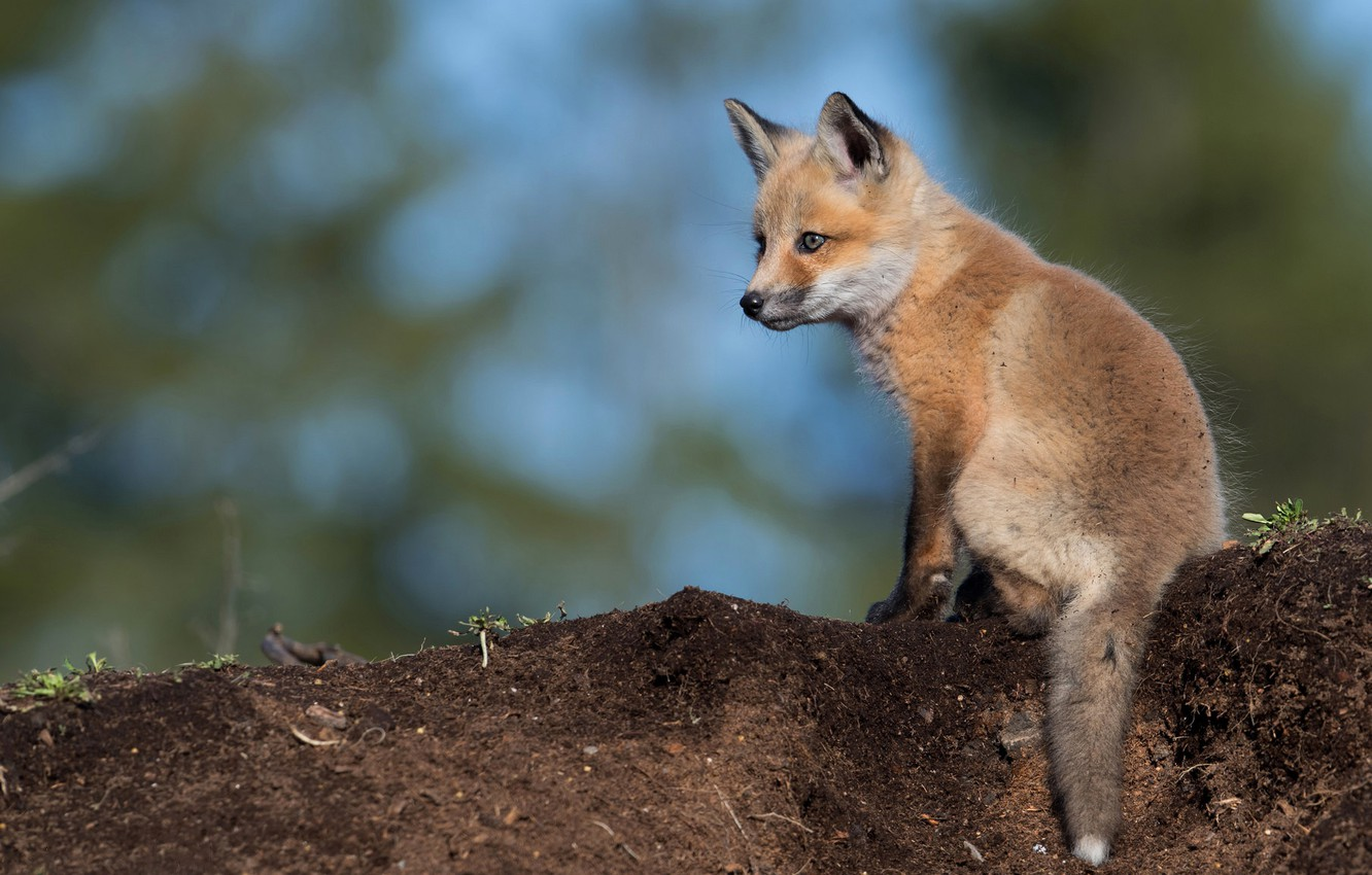 Photo wallpaper look, pose, earth, blue, small, baby, red, Fox, sitting, cub, blue background, wildlife, Fox, bokeh, …
