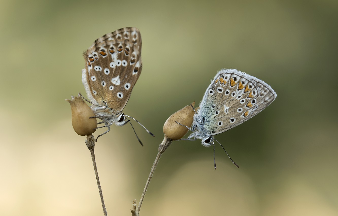 Photo wallpaper butterfly, background, pair