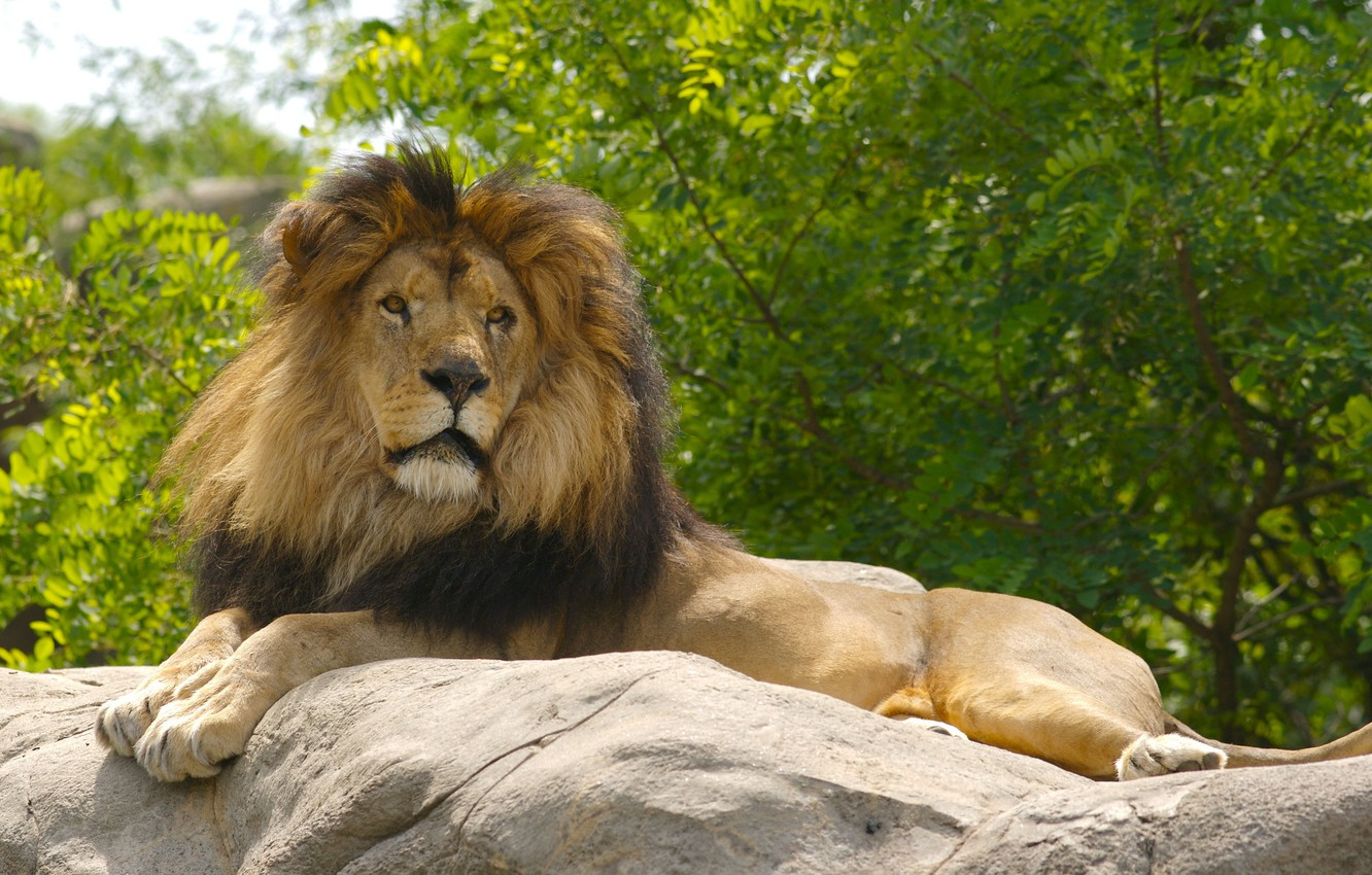 Wallpaper Animals Nature Cat Lion Predator Face Animal Cats Look Body Wildlife Paws Portrait Muzzle Stare 4k Ultra Hd Background Images For Desktop Section Koshki Download