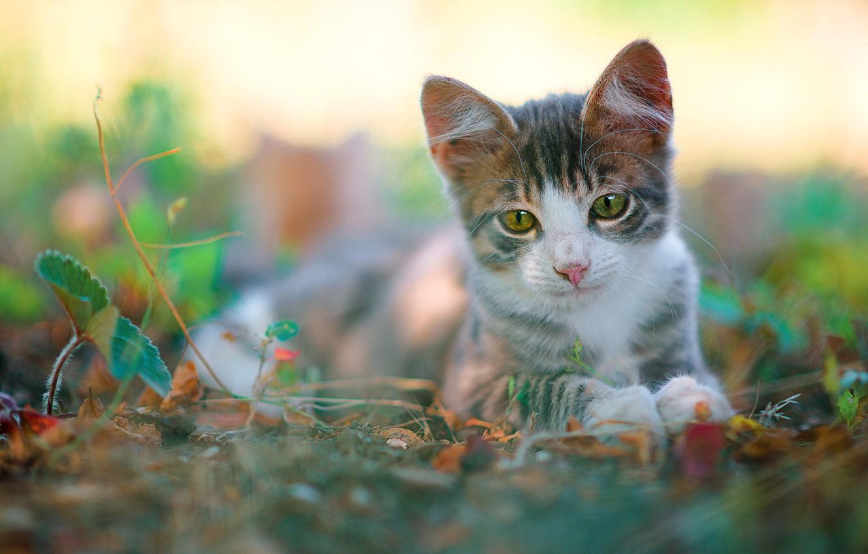 Photo wallpaper cat, look, leaves, nature, kitty, grey, blur, baby, muzzle, lies, kitty, green eyes, bokeh, white