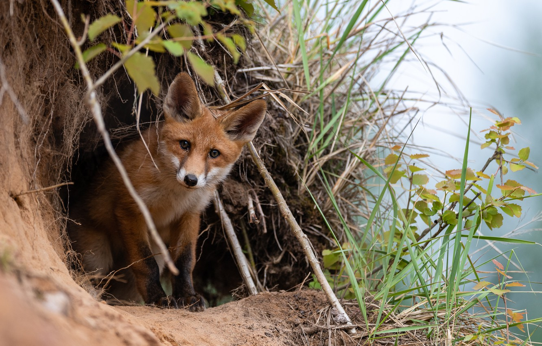 Photo wallpaper grass, branches, nature, animal, Nora, Fox, Fox