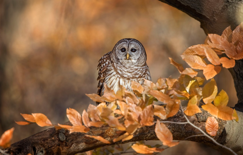 Photo wallpaper autumn, look, leaves, branches, background, tree, owl, bird, foliage, bokeh, Golden autumn, owl, motley