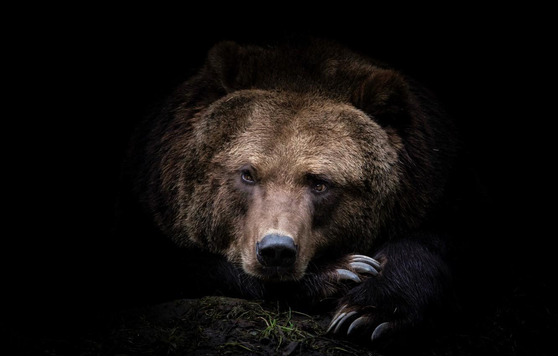Photo wallpaper face, photo, predator, bear