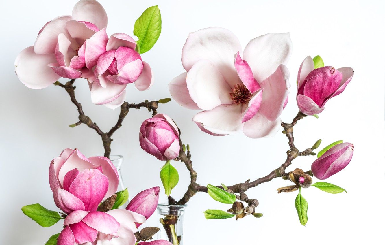 Photo wallpaper flowers, branch, Magnolia