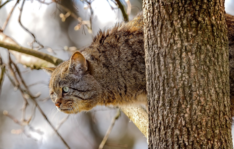 Photo wallpaper look, branches, tree, on the tree, Wild cat, Wildcat