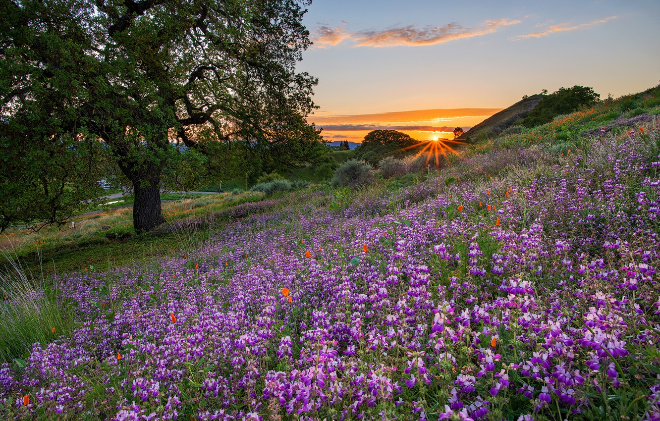 Photo wallpaper sunset, flowers, tree, meadow, CA, lupins