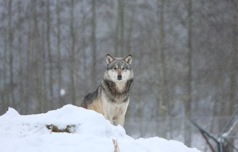 Photo wallpaper winter, forest, snow, wolf, predator