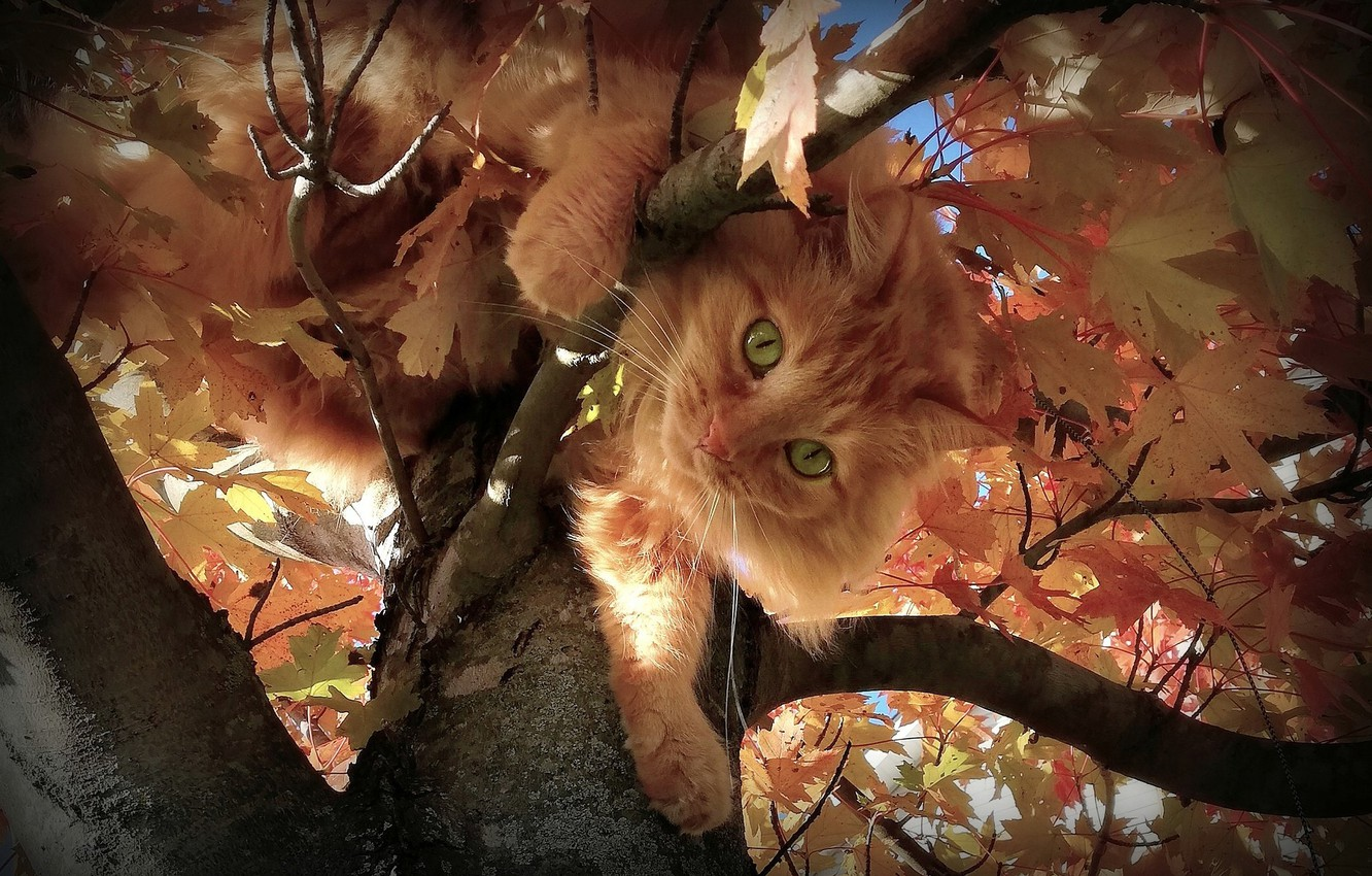 Photo wallpaper autumn, cat, look, leaves, branches, tree, fluffy, red, muzzle, on the tree, green eyes, cat