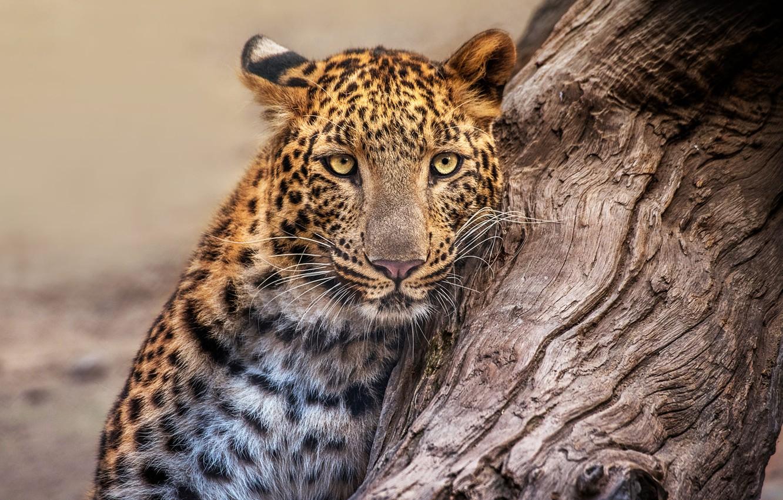 Photo wallpaper face, nature, tree, portrait, leopard