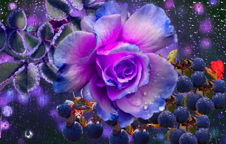 Photo wallpaper drops, berries, rain, rose, the mood of autumn