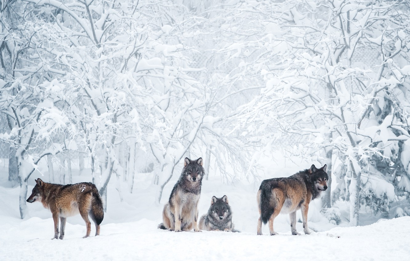 Wallpaper Winter Frost Forest Snow Trees Branches Nature Grey Wolf Pack The Snow Wolves Company Grey Light Background Four Images For Desktop Section Zhivotnye Download