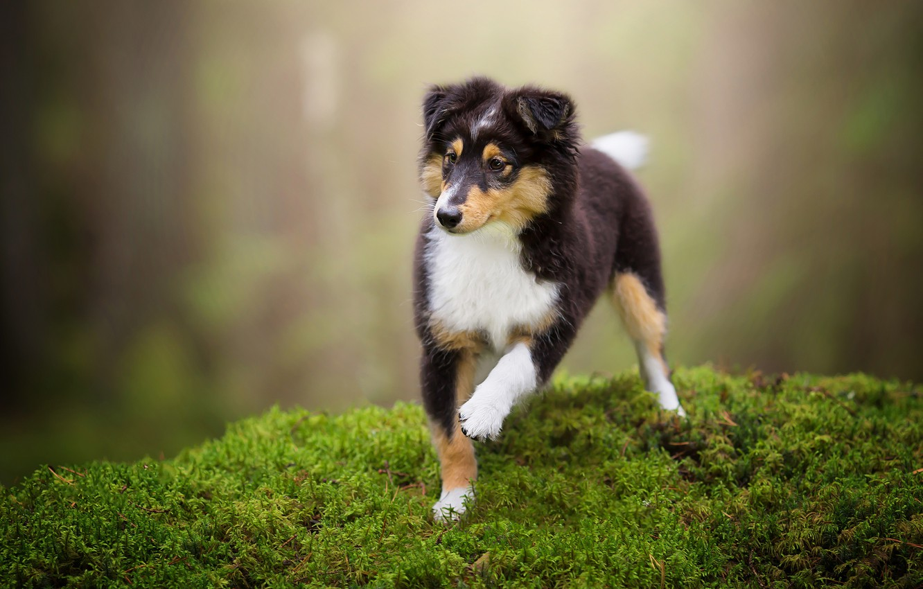 Photo wallpaper forest, look, nature, pose, green, background, moss, dog, paws, baby, puppy, walk, is, face, collie, …