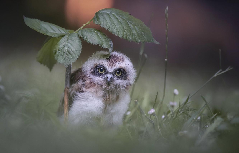 Photo wallpaper nature, owl, leaves, little
