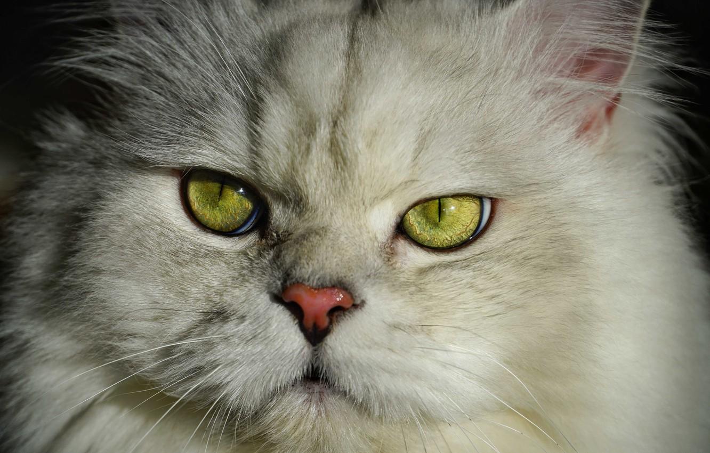 Wallpaper White Fluffy Cat British Images For Desktop Section Koshki Download