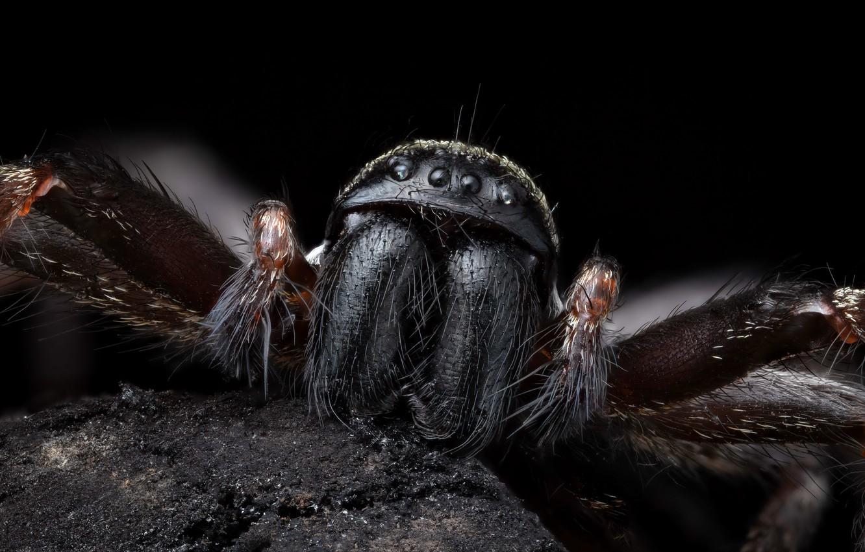 Photo wallpaper Nature, Macro, Grey house spider, Badumna distant