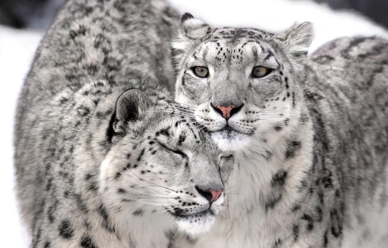 Photo wallpaper IRBIS, snow leopard, Kote, couple, fluffy, irbis