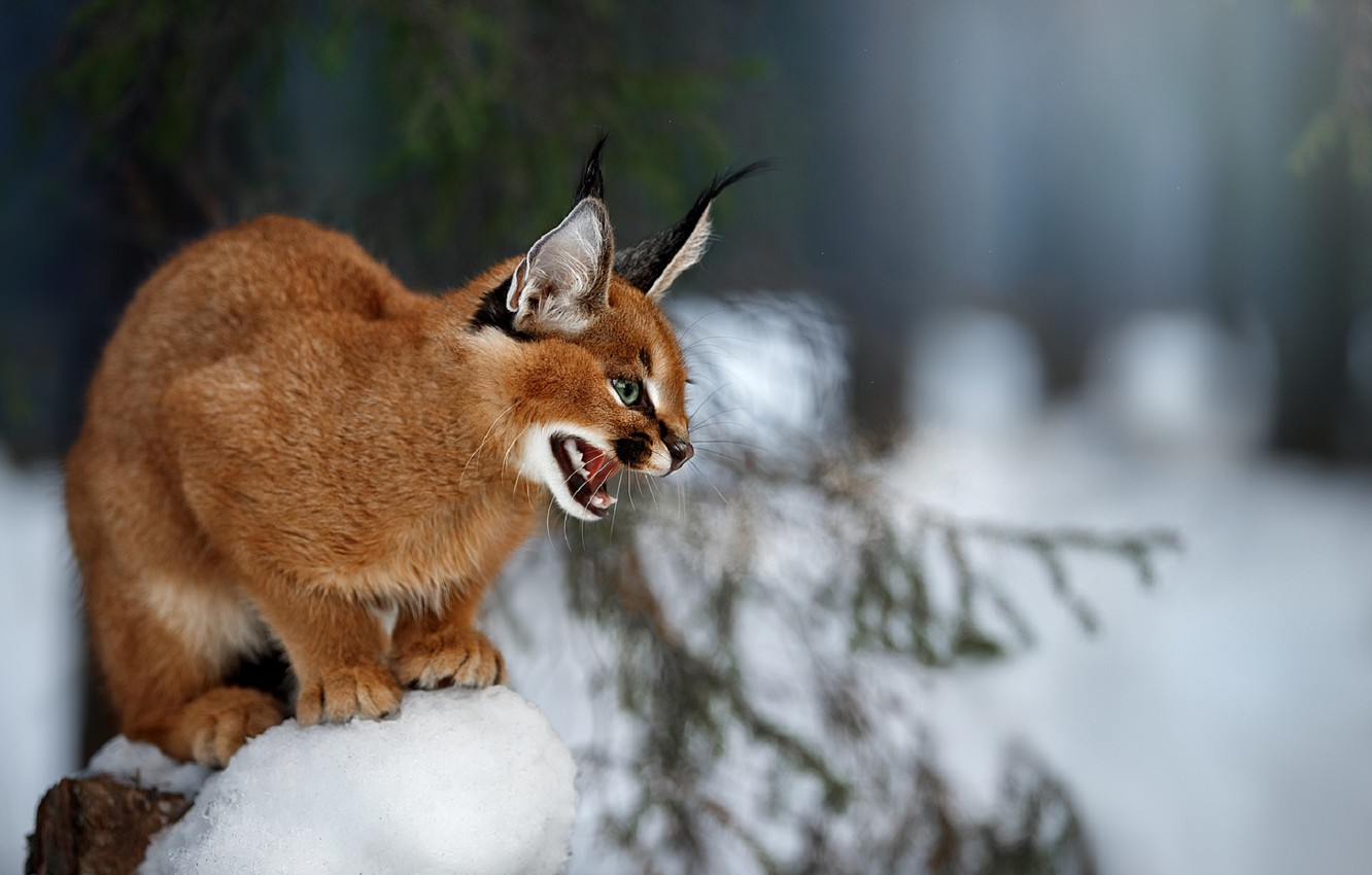 Photo wallpaper blurred background, in the snow, Caracal