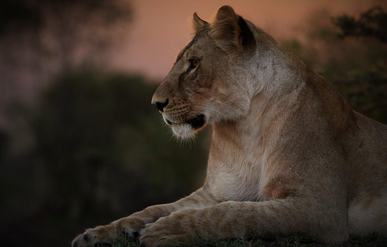 Photo wallpaper portrait, lioness, wild cat, krasava