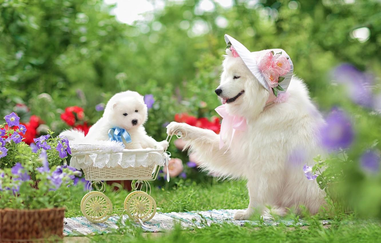 Photo wallpaper dogs, flowers, stroller, puppy, hat, walk, family portrait