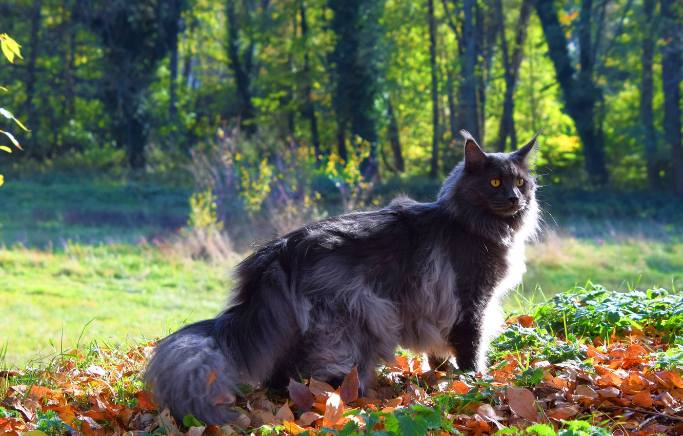 Photo wallpaper autumn, cat, cat, look, face, leaves, light, trees, branches, nature, pose, Park, grey, background, glade, …