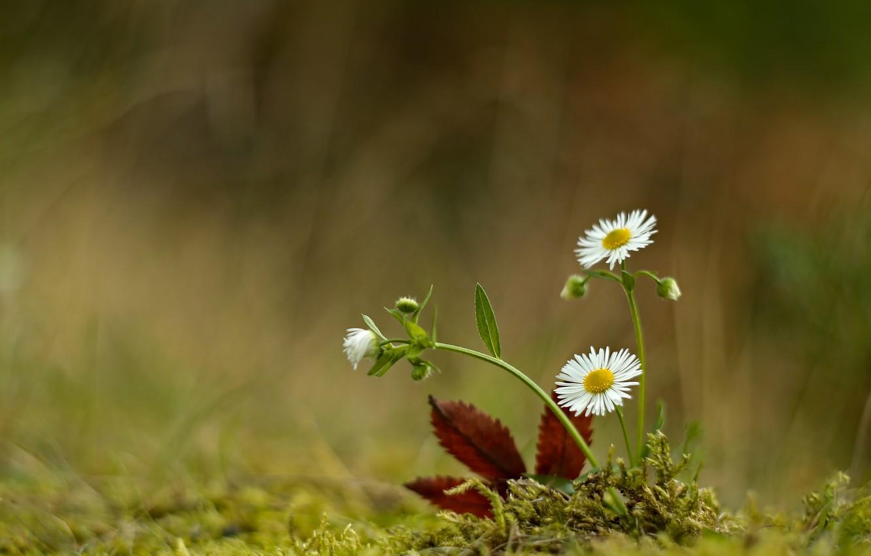 Photo wallpaper flowers, nature, sheet, moss, chamomile