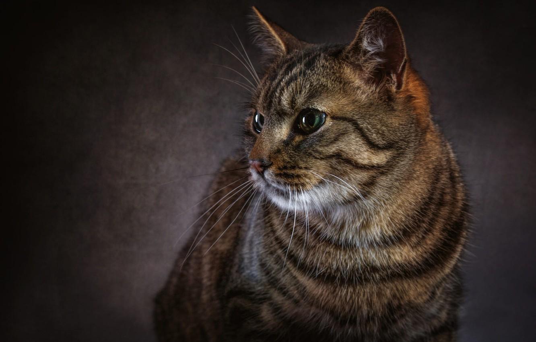 Photo wallpaper cat, eyes, cat, look, face, the dark background, grey, Shine, portrait, striped