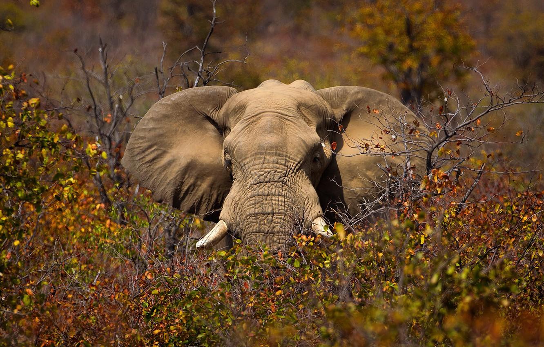Photo wallpaper nature, elephant, Africa
